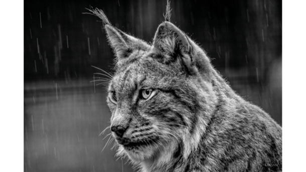 Schilderij Lynx in black and white
