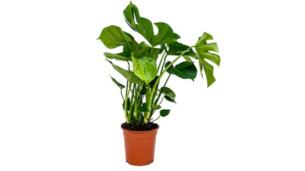 Kamerplant Monstera