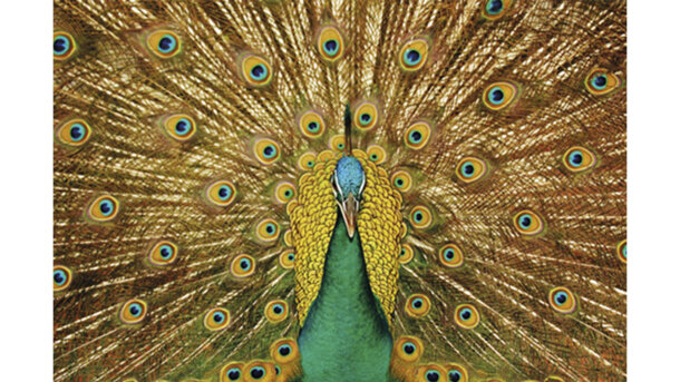Schilderij A Beautiful Peacock Mat