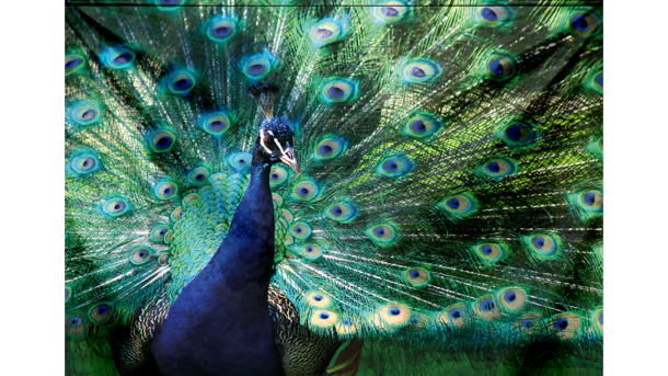 Wandkleed Peacock displaying his Plumage