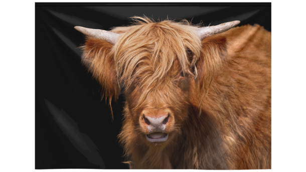 Wandkleed Scottish Highland Cattle