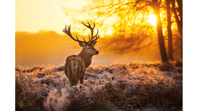 Schilderij Red Deer in Morning Sun
